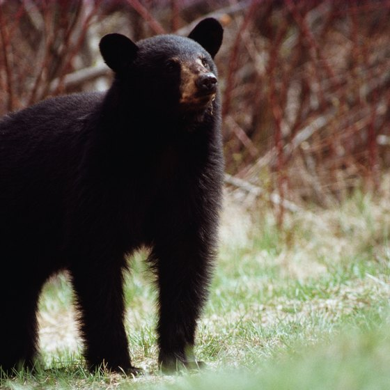Kentucky backpackers might spot a black bear.
