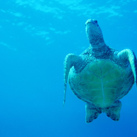 Sea turtles are a common sight in Kailua Bay.