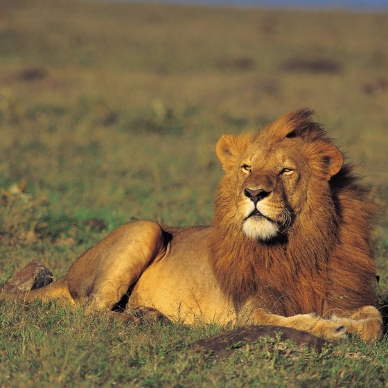 The African lion is a frequent visitor to the Niger River.