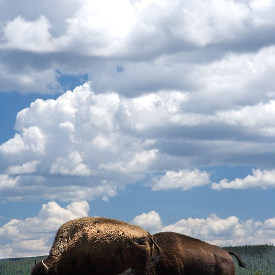 Buffalo roam in Yellowstone National Park.