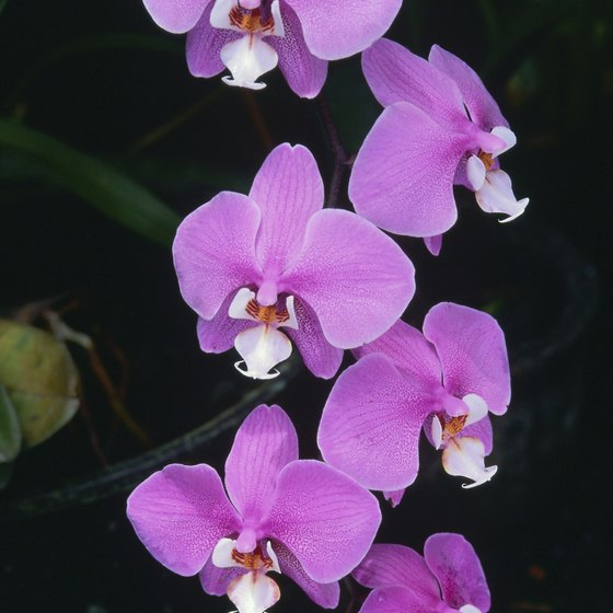 Orchids are one common Amazon Rainforest flower.