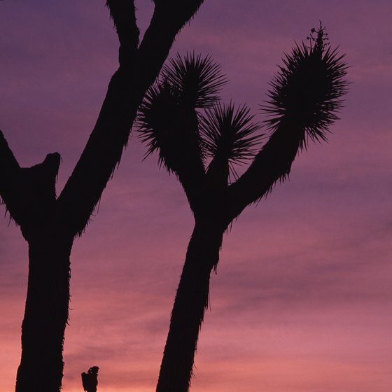 Joshua Tree National Park is best known for its unique forests of Yucca brevifolia.