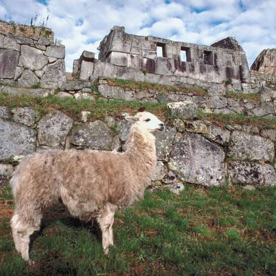 You may even find a wild llama to escort you around Machu Picchu.