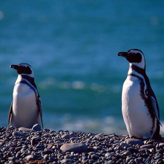 Look for Magellanic penguins in the Beagle Channel.