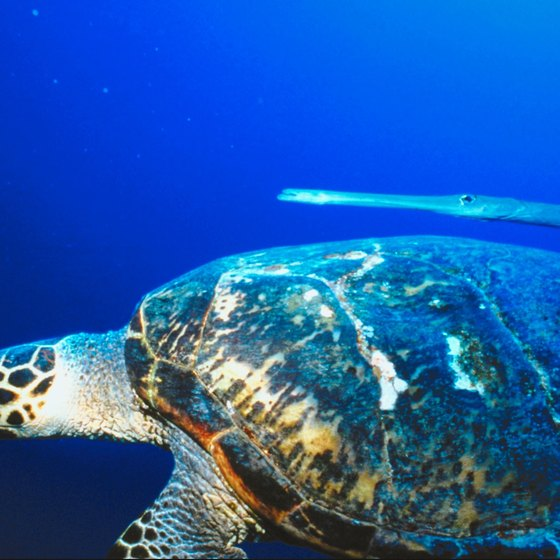 Sea turtles are a common sight in the Red Sea.