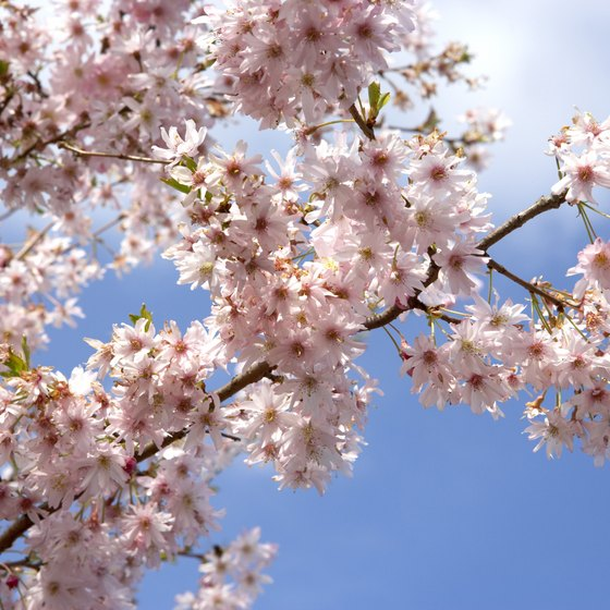 Parks throughout Japan offer cherry blossom viewing during April and May.