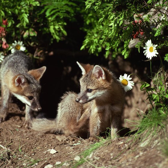 Gray fox are likely spotted when taking a nature walk through Corolla, North Carolina.