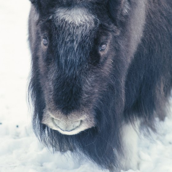 The Sondre Stromfjord area has Greenland's largest musk ox population.