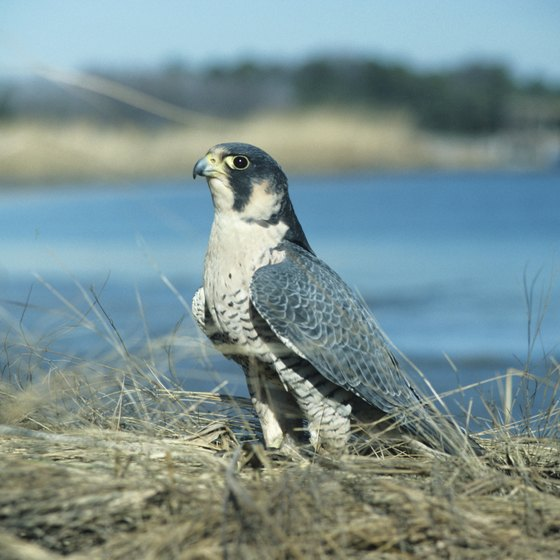 The North Carolina Savannah River basin is home to the endangered peregrine falcon.