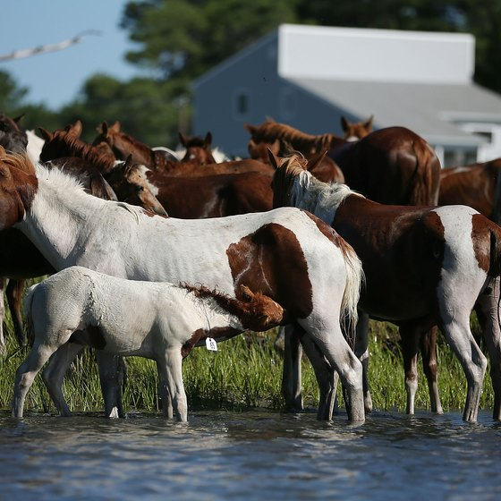 The Chincoteague ponies are an attraction for visitors to Virginia's Eastern Shore.