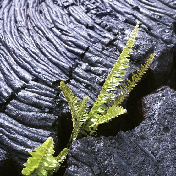 Ferns are among the first plants to grow after lava cools.