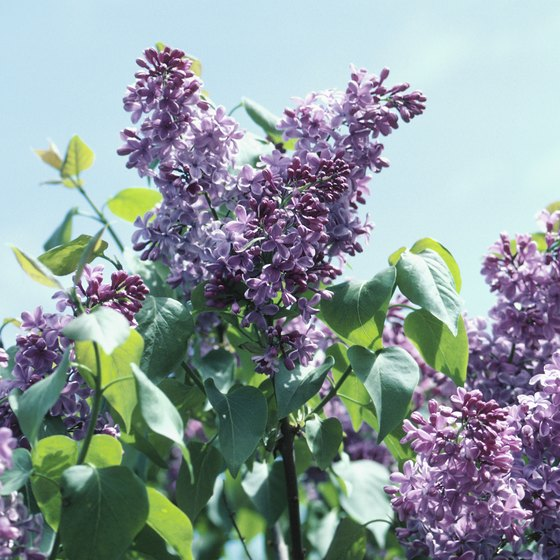Fragrant lilacs are in full bloom in June for the Mackinac Island Lilac Festival.