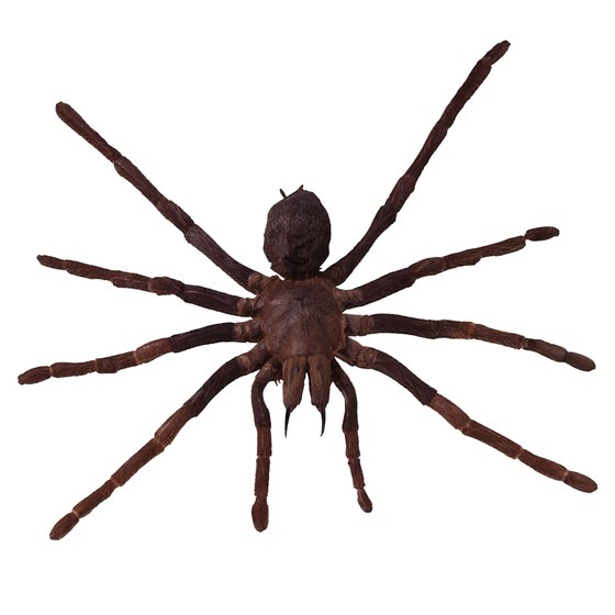 The wolf spider, though large and scary-looking, is harmless.