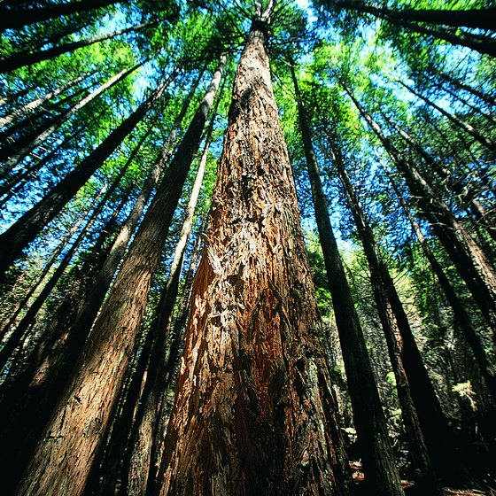 Redwood groves surround the Northern California village of Occidental.