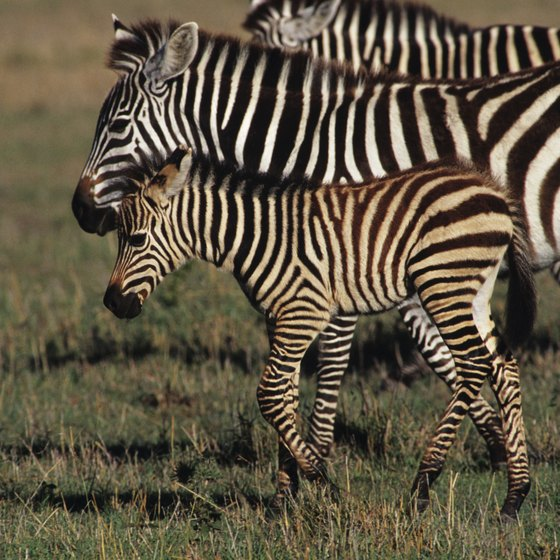 Certain zebra species are endangered.