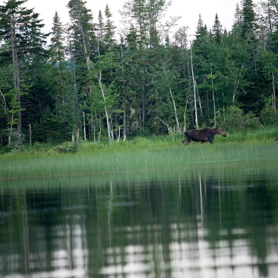 Red Feather Lakes has a healthy moose population.