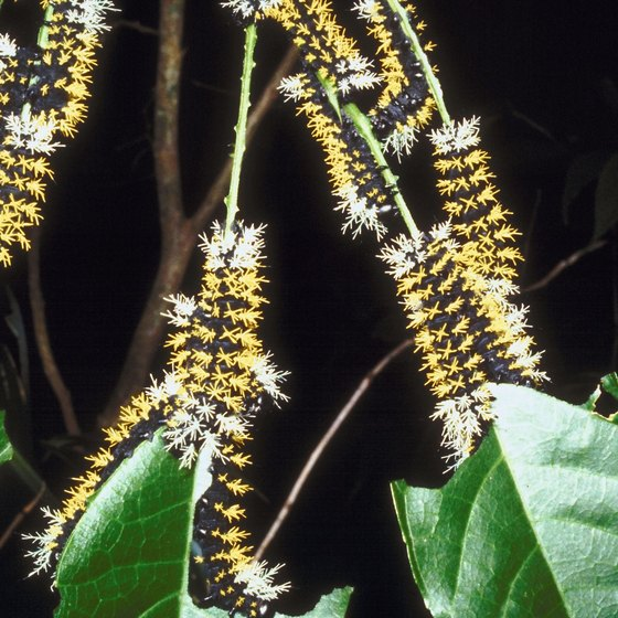 Caterpillars make Stanford University home in the spring months.