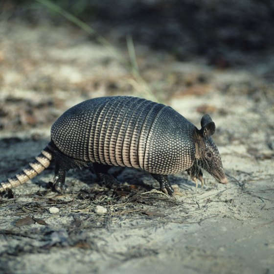 The nine-banded armadillo is a common sight across Texas.
