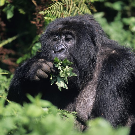 Deforestation in the Central African rainforest threatens the mountain gorilla.