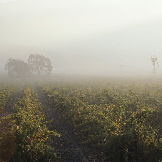 Mist in the Vineyards of Napa Valley