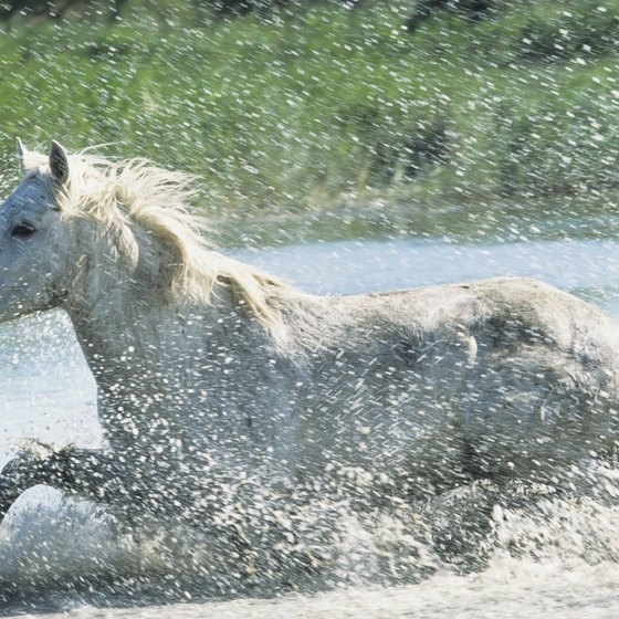 Camargue horses love to frolic in the water.