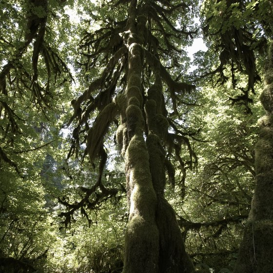 Towering, moss covered trees inhabit the Hoh Rain Forest.
