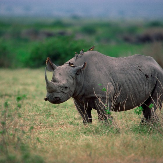 Ecotourism in Kenya supports conservation efforts, such as those to proctect the rhinoceros.