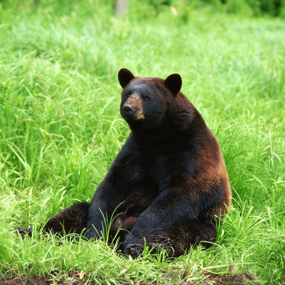 Generally good-natured omnivores, black bears roam widely in the Catskills.