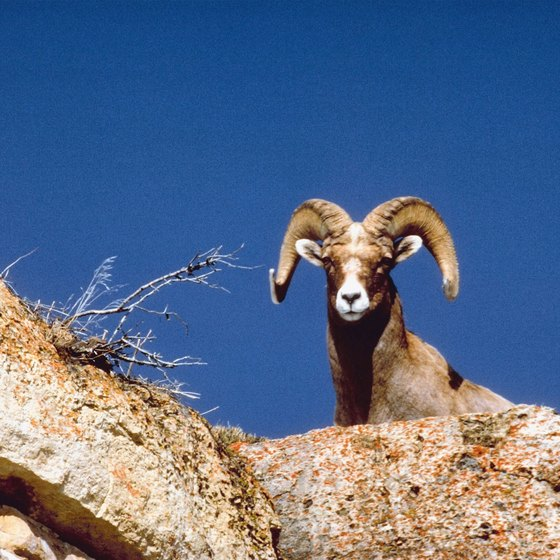Desert bighorn are commonly seen peeking down from the rugged mountains around Lake Mead.