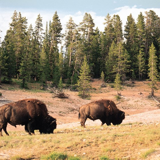 Bison still graze at Yellowstone National Park.