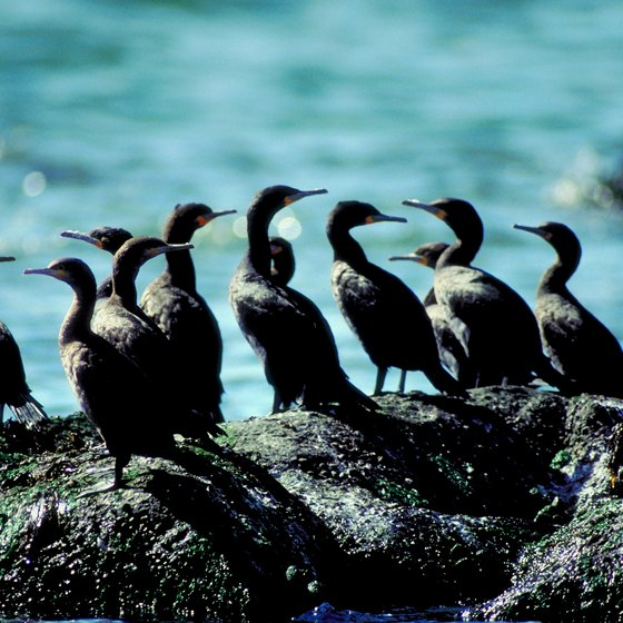 Cormorants are a common sight on Vashon Island.