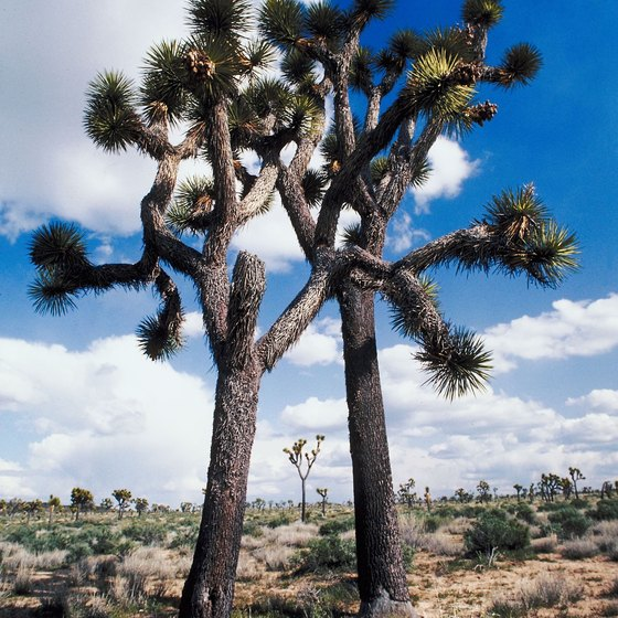 Bakersfield's desert climate, featuring Joshua trees similar to this one, is ideal for RV snowbirds.