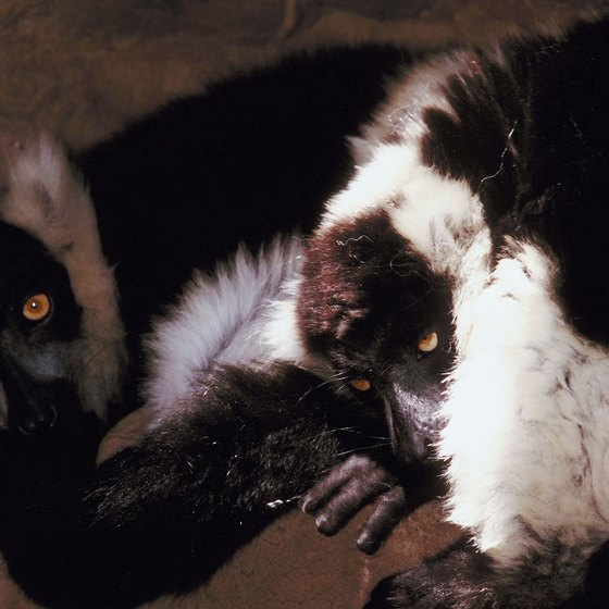 Seventy species of lemur are among the many draws of Madagascar.
