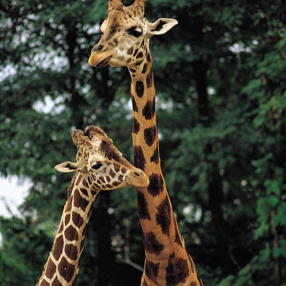 Safari parks allows guests to feed giraffes and other exotic animals.