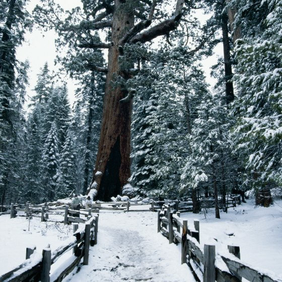 The giant sequoias in the Mariposa Grove continue to awe visitors year-round.