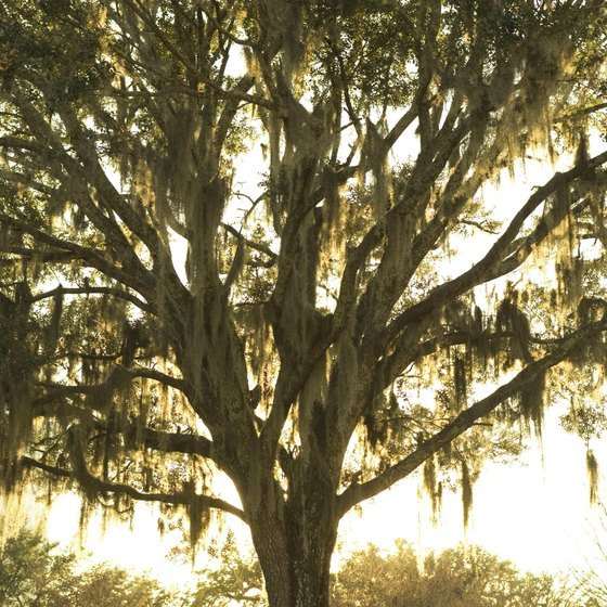 Tallahassee live oak trees are draped in Spanish moss.