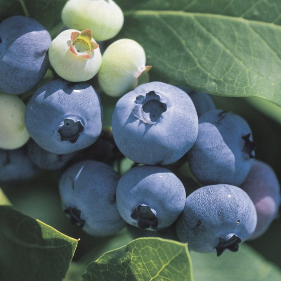 Children and families can pick blueberries in Midland.