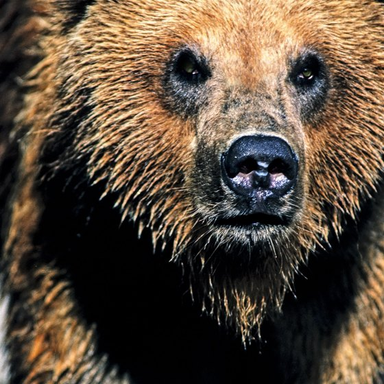 Grizzly bears are among the Greater Yellowstone Ecosystem's most famous inhabitants.