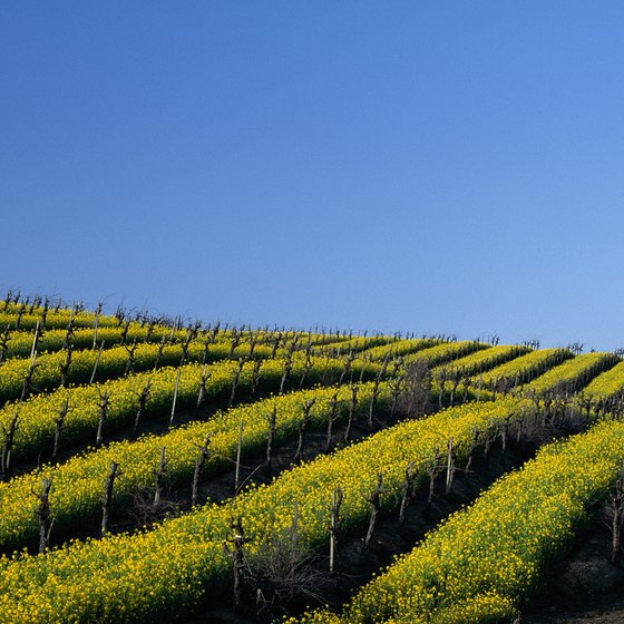 In spring before the grapevines leaf, the valley is covered with seas of yellow mustard flowers.