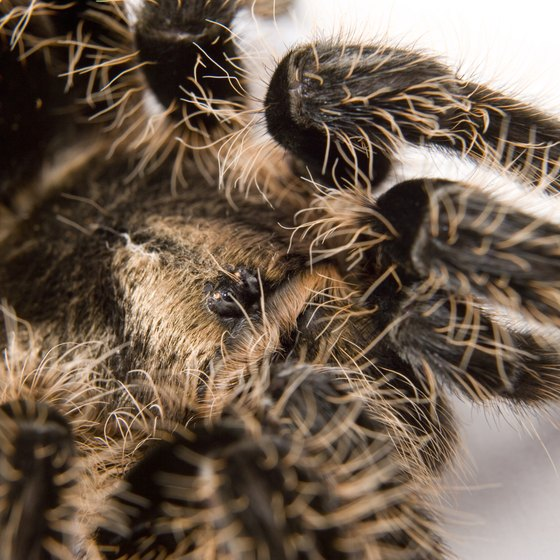 The hairs of a tarantula can irritate the soft tissue of the nose and throat when breathed in.