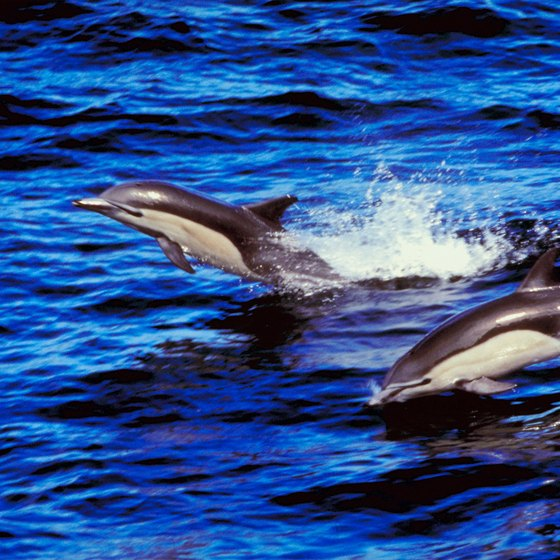 Dolphin-watching is a popular tourist activity on Marco Island.