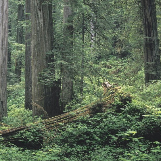 Redwood forest covers much of California's Humboldt County.