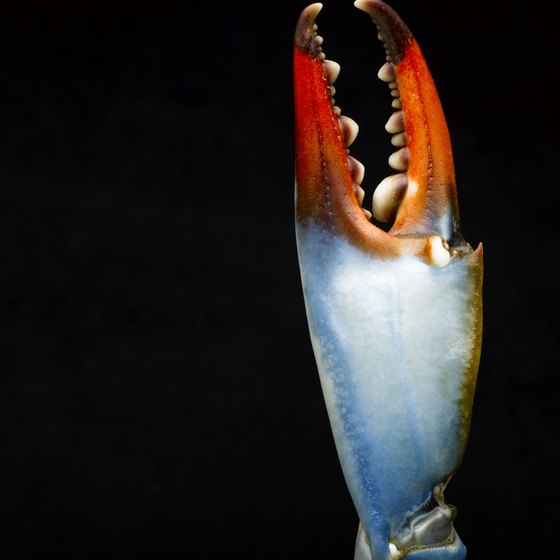Female blue crabs have red-tipped claws.