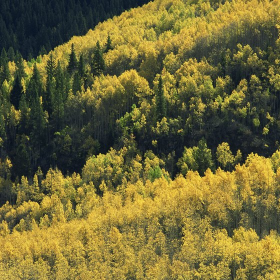 The Vail Valley is filled with thick aspen forests.