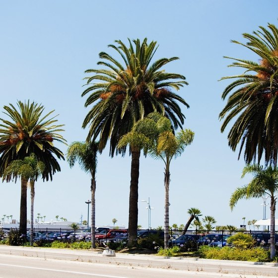 Palms lining a beach in San Diego, California