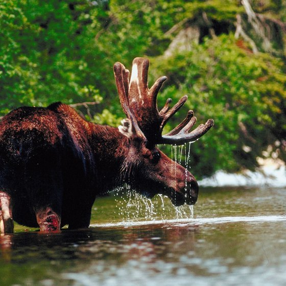 Visitors to Baxter State Park have a good chance to encounter moose during their stay.