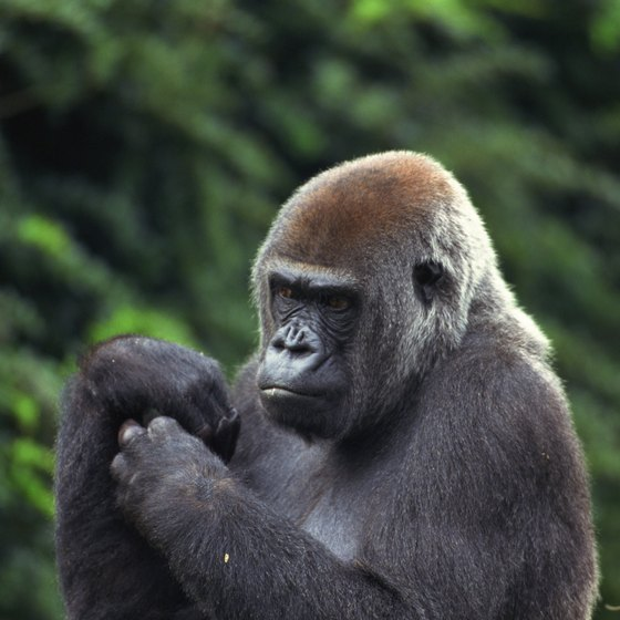Western lowland gorillas are among the inhabitants of Africa's equatorial forests.