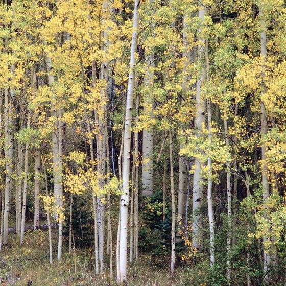 Hiking Guanella Pass takes you through groves of aspen.
