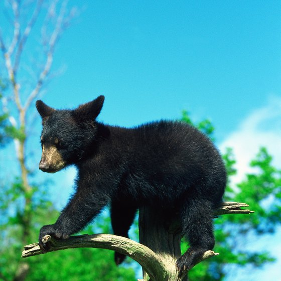 Northeastern Minnesota is home to a variety of wildlife, including black bear, moose and wolves.