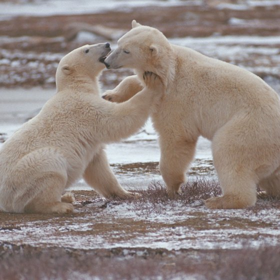 Churchill, Manitoba, is referred to as the polar bear capital of the world.